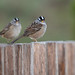 Flickr photo 'White-crowned Sparrows, Zonotrichia leucophrys (Forster, 1772)' by: Misenus1.