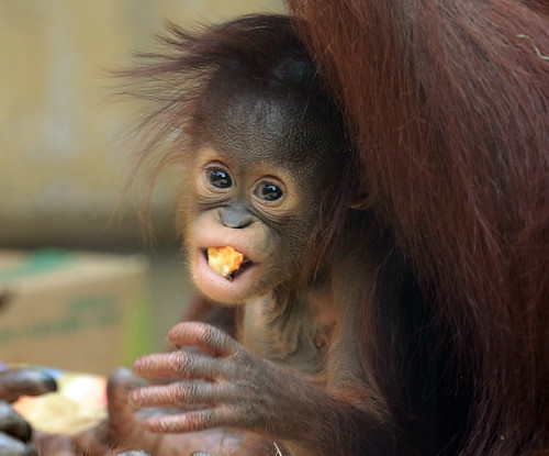 orangutan Minggu Ouwehand BB2A1229