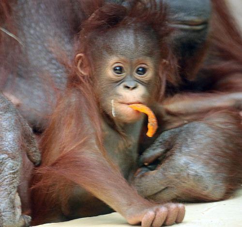 orangutan Minggu Ouwehand BB2A1307