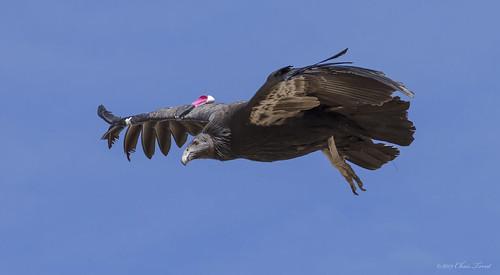 C0810 California Condor 0675