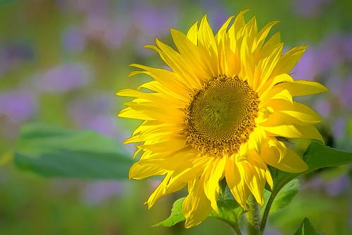 Last sunflower of the season