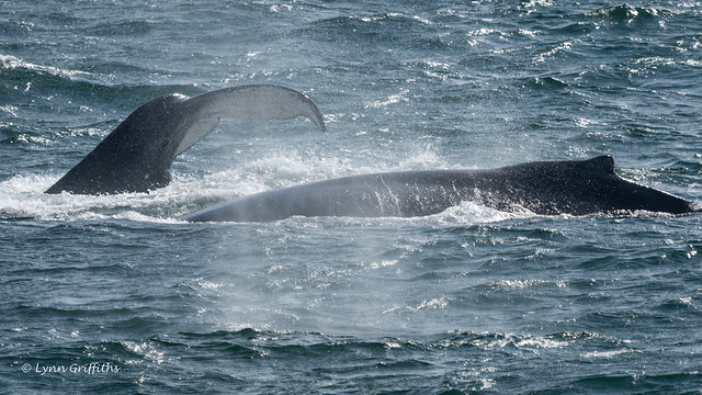 Humpback Whale Mother and Calf 502_1309.jpg