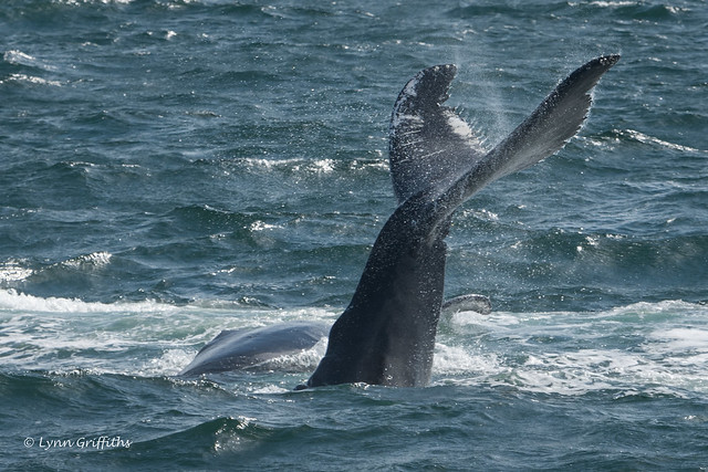 Humpback Whale Mother and Calf 502_1316.jpg
