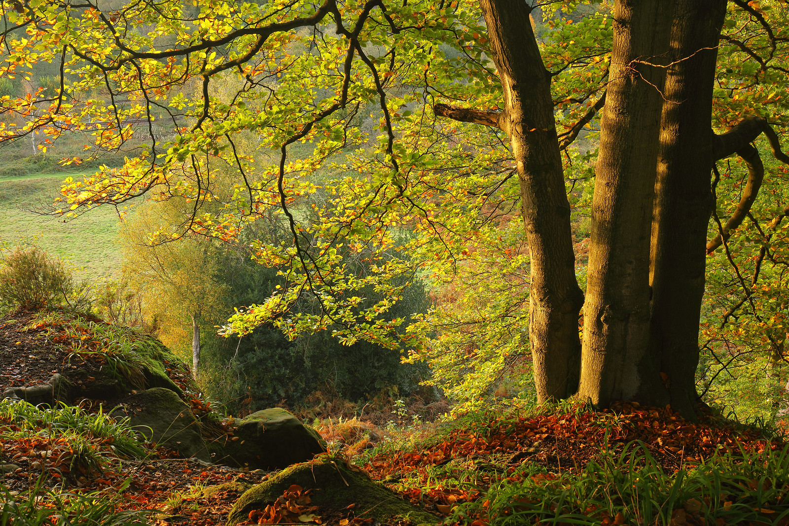 Clifftop beech trees in autumn