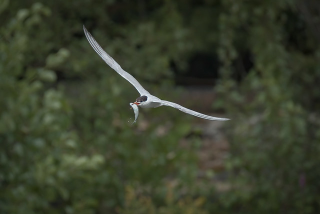 a tern with a fish (1/2)