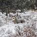 IMG_4014 mule deer buck