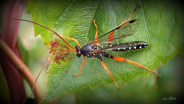 Cream-spotted Ichneumon Wasp
