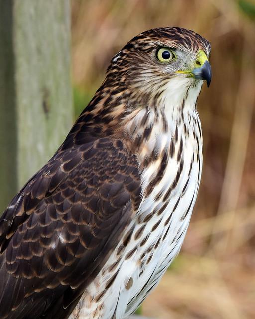810_3543.jpg  Cooper's Hawk