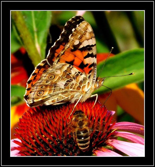 Pszczoła i motyl.