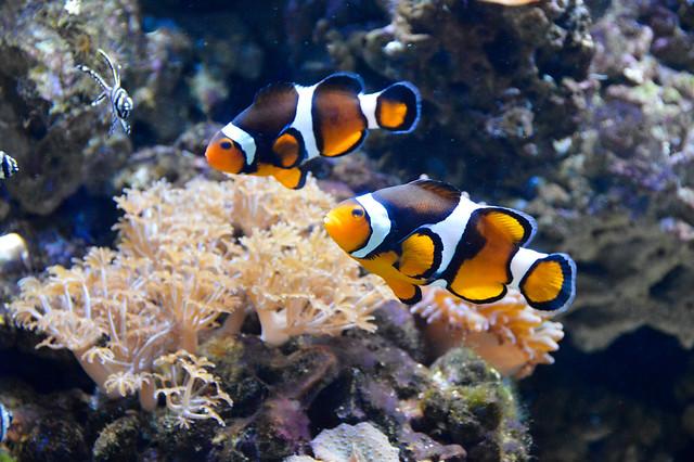 Clownfish (Amphiprioninae)