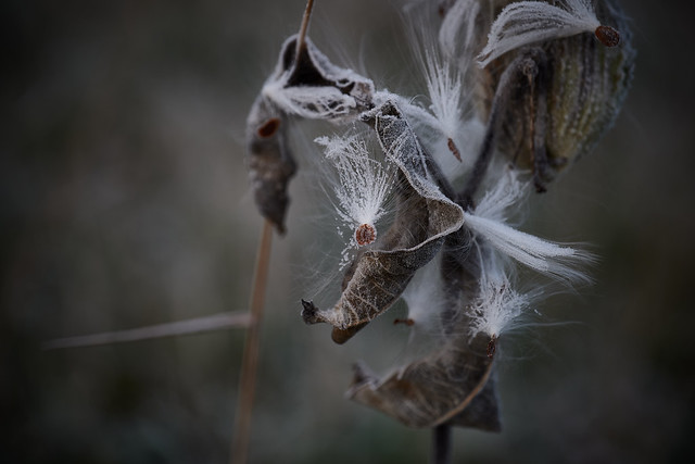 milkweed, at dawn, first frost, 10-26-19