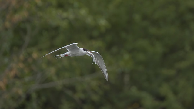 a tern with a fish (2/2)