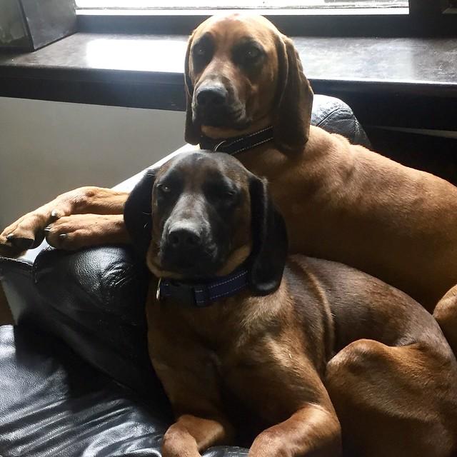 Grote bruine honden op leren bank