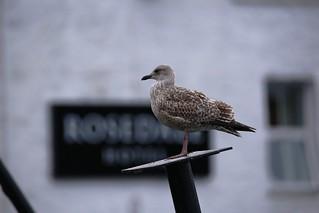 IMG_5553 Seagull, Portree, Isle of Skye