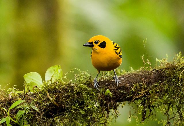 0P7A0907   Golden Tanager, Ecuador