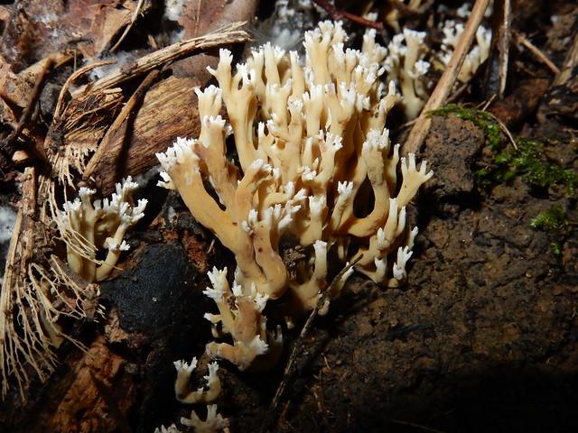 Dwergkoraalzwam (Ramaria myceliosa)