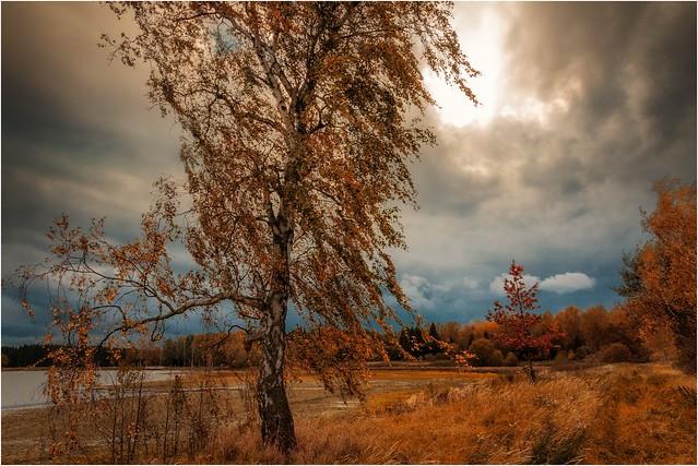 Eine Birke im Herbstwind