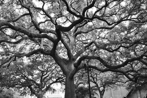 Un arbre nerveux - A nervous tree