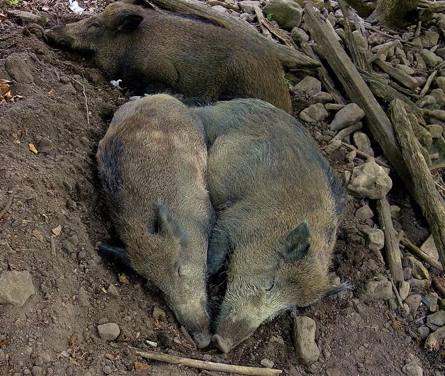 Wildschweine , 76780/12069