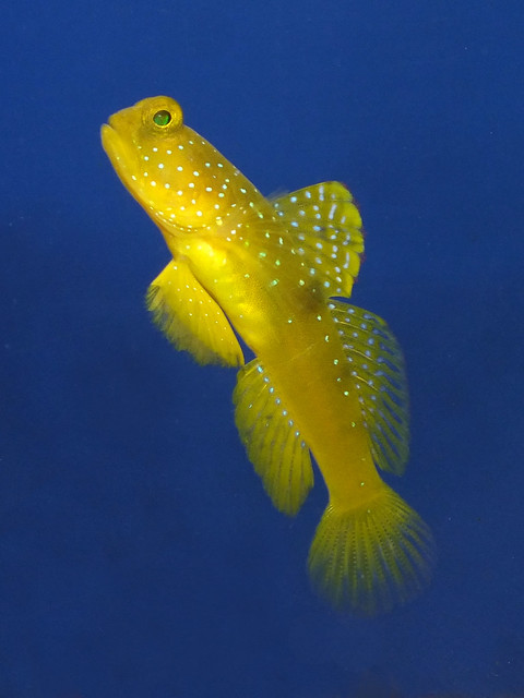 Yellow prawn-goby (Cryptocentrus cinctus)
