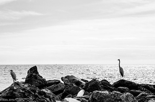 blackandwhite seascape landscape nikond7000 nikkor18105mm3556g bgdl lightroomcc bwno7~365again heron gulfofmexico egret freebird lidobeach starmand'scircle