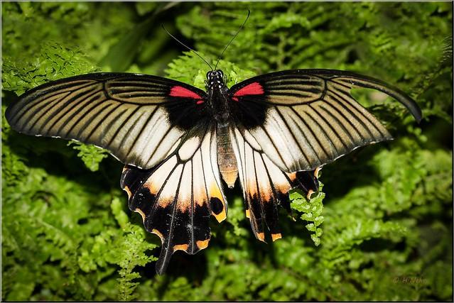IMG_0534 Papilio spec