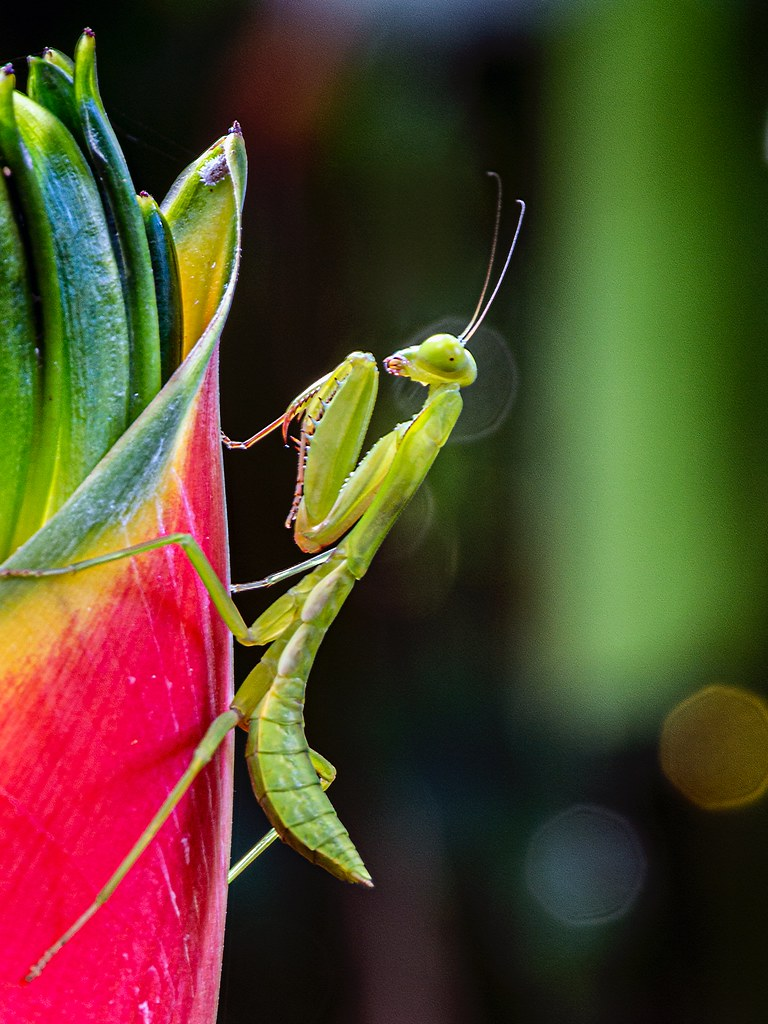 Mantis in Paradise