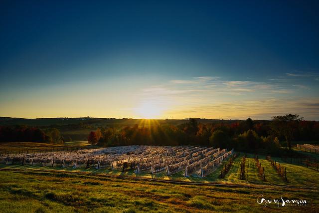Autumn sunrise on the vineyard