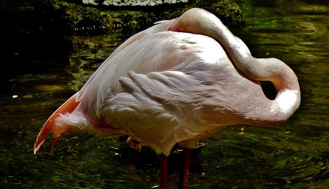 Flamingo , 76781/12070