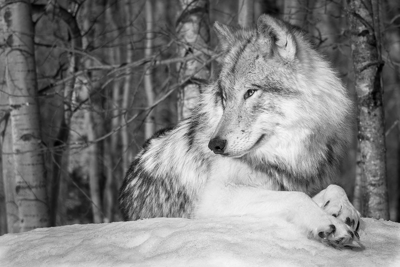Le loup coquin