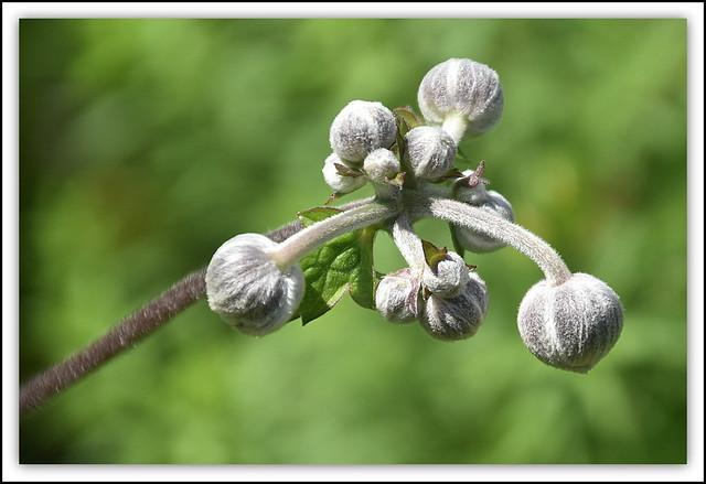 Japanese Anemone Flower Buds