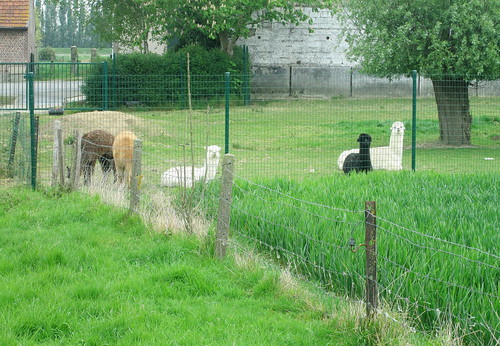 Alpacas by 50th Northumbrian Division Memorial