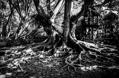 nikond7000 lightroomcc blackandwhite landscape nikkor18105mm3556g bgdl bwno7~365again tree florida roots sarasota rooted marieselbygardens