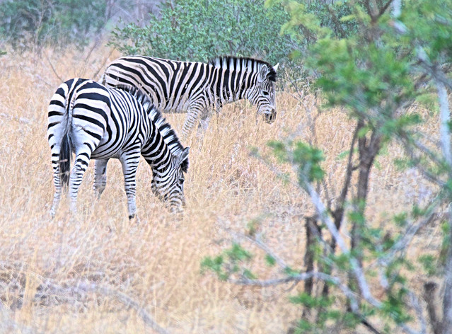 Zebras in the wild in South Africa