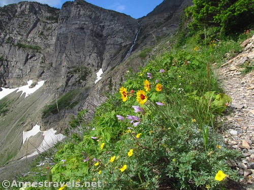 Wildflowers along the higher reaches of the Swiftcurrent Pass Trail in the Amphitheater, Glacier National Park, Montana