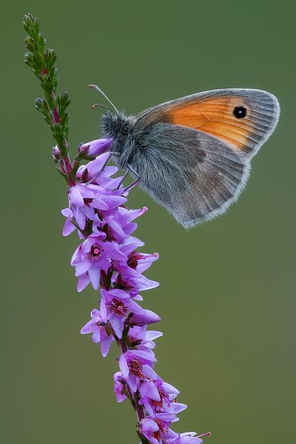 Small Heath - Hooibeestje