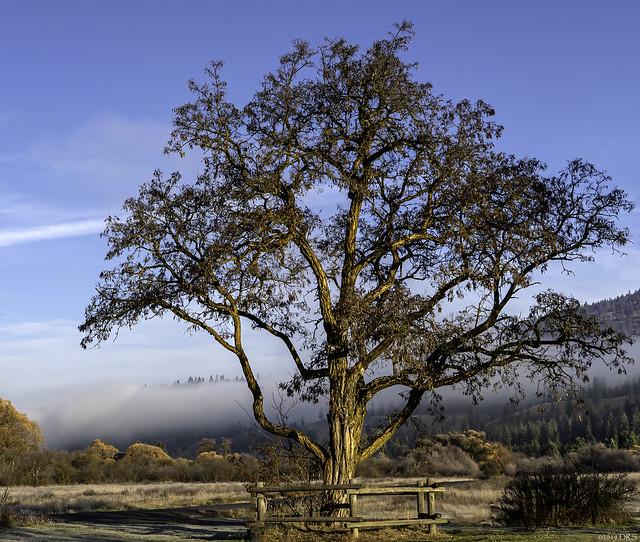 Sunrise Tree and Morning Fog