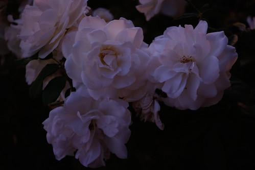 white rose at dusk