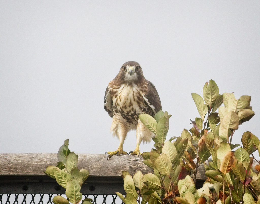 Bright-eyed Red-tail on Governors Island