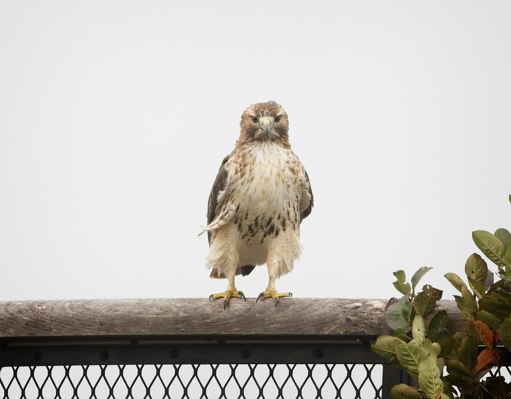 Light Red-tail on Governors Island