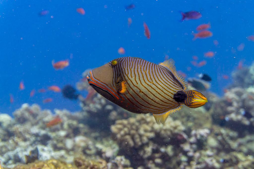 Orangelined Triggerfish