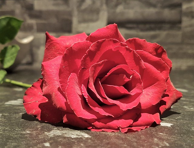Reclined Red Rose