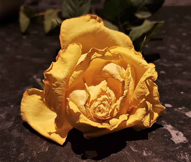 Yellow Rose of St. Helens Auckland