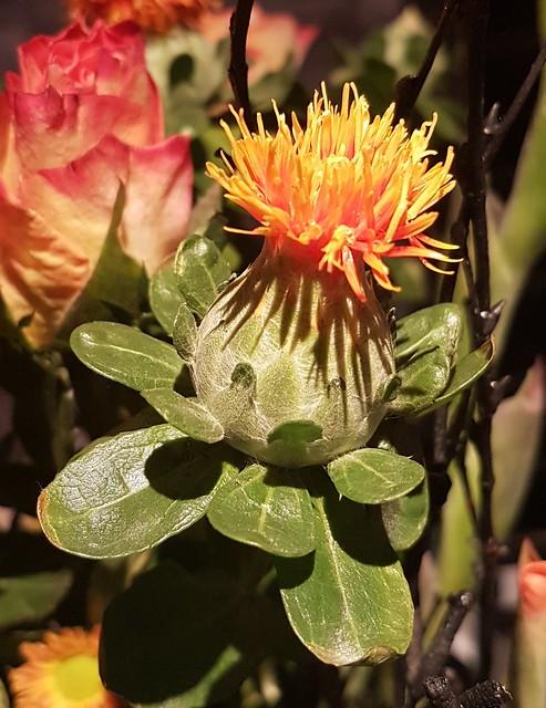 Orange Safflower - Carthamus Tinctorius