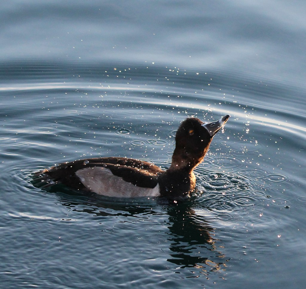 Ring Neck Duck Riparian Preserve Gilbert AZ