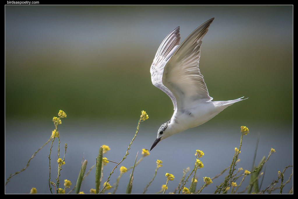 Whiskered Tern: Hunting among the gold