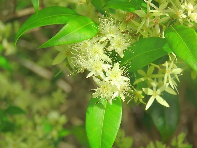 Backhousia myrtifolia 2