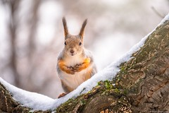 Squirrel in winter sits on a tree branch with snow.  (由  Berilyon