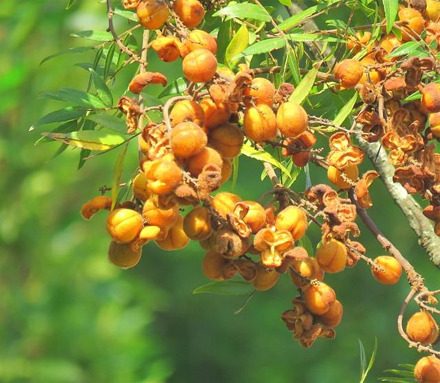 Jagera pseudorhus var. pseudorhus 20