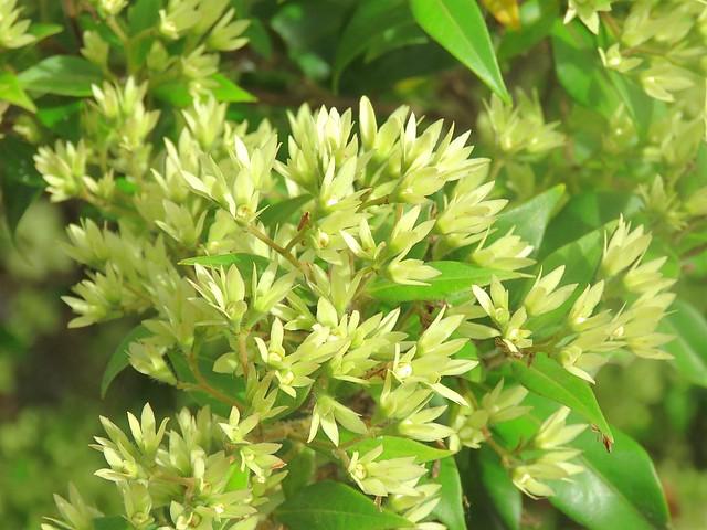 Backhousia myrtifolia 5